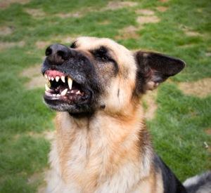 حمله سگ دندان نشان دادن